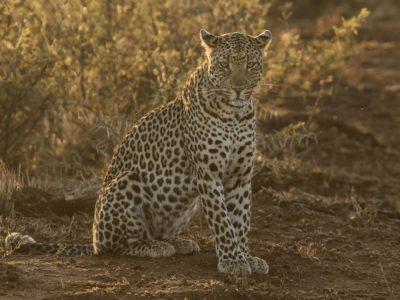 Leopard Madikwe