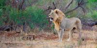 Lion-Music--header-1