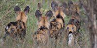 Wild dogs1