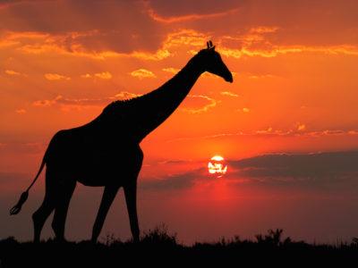 giraffe-in-sunset