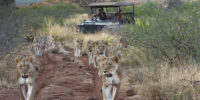 tuningi-safari-game-drive-madikwe