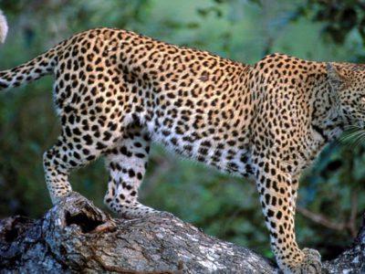 029-leopard-in-tree