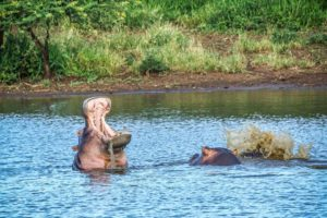 Hippo action
