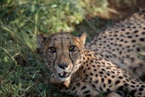 lovely cheetah