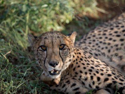 lovely cheetah